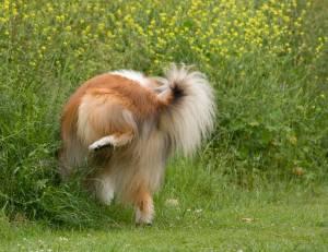 Según la teoría de la dominancia, este perro está marcando el territorio.