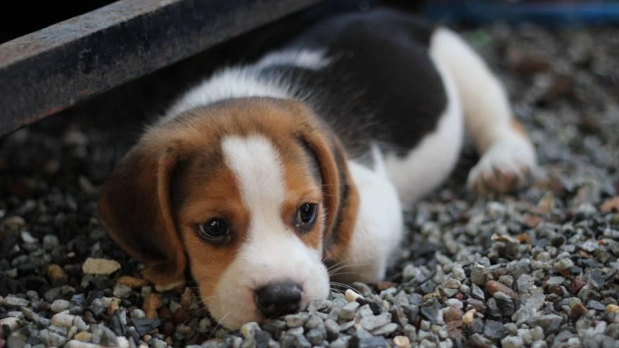 Este hermoso cachorrito va a crecer, pasando por fases complicadas, hasta llegar a ser un adulto